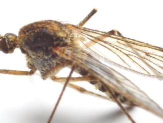 Un moustique prêt à s'envoler.