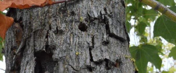 Les ravages du capricorne asiatique sur un arbre de Divonne