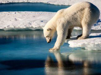 Ours polaire et fonte des glaciers